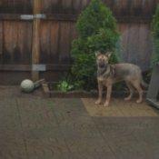 Dog on patio near dog house.