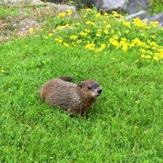 Groundhog In The Gr