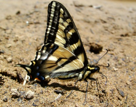 Swallowtail Butterfly in the Sand