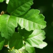 Poison Oak leaves.