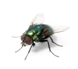 Close up of housefly on white background