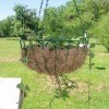 Photo of tomatoes growing in a hanging basket.