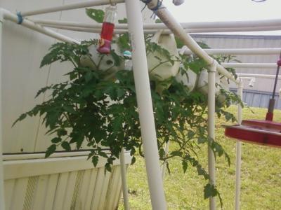 Growing tomatoes in a milk jug.