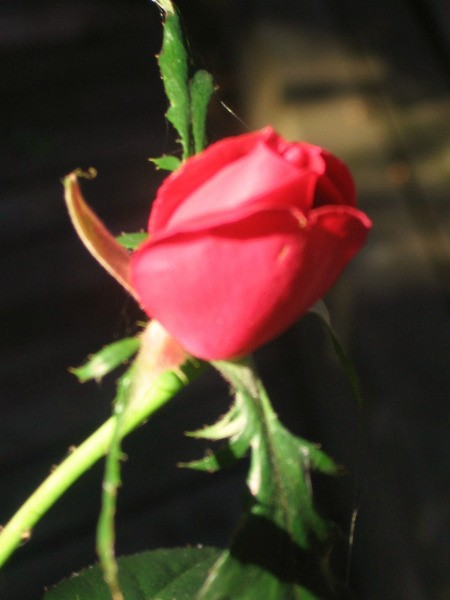 A red rosebud that grew in October.