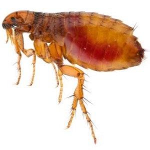 Getting Rid of Fleas in Bedding. Upclose photo of a flea.