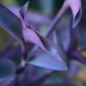 Purple Plant Blooming