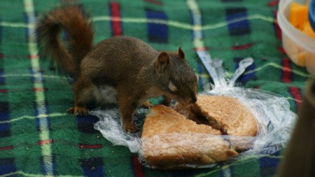 Squirrel on Picnic Blanket Eat Peanut Butter and Jelly Sandwich