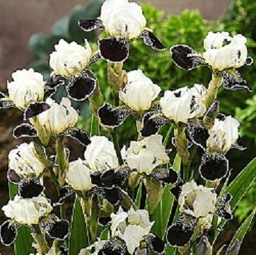 Top down view of black and white iris.