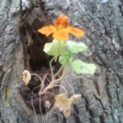 Nastursium growing out of hollow tree.