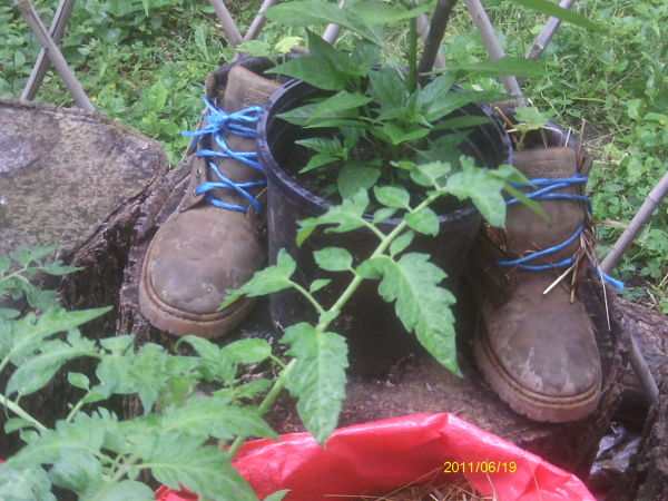 Cucumber plant growing in an old pair of boots.