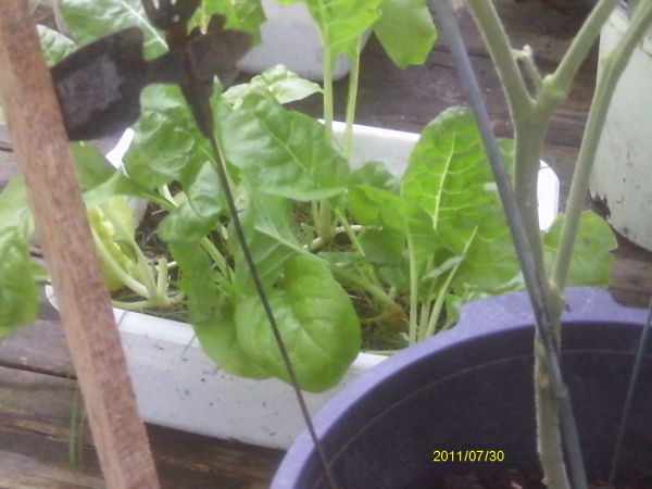 Swiss chard growing in a dishpan.