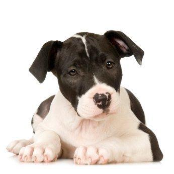 Training A Pitbull To Not Bite Thriftyfun