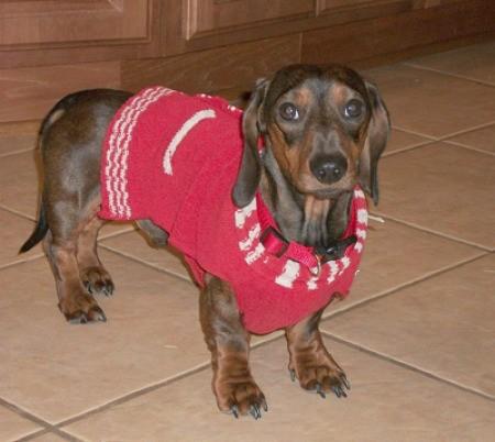 Photo of a dachshund.