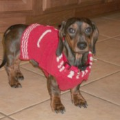 Photo of a dachshund.