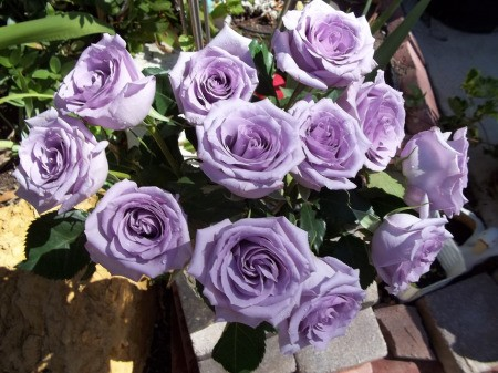 Bunch of purple roses