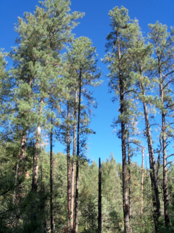 Tall Trees in White Mountain Wilderness