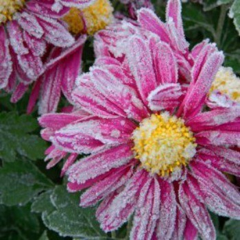 Pink flowers covered in frost.
