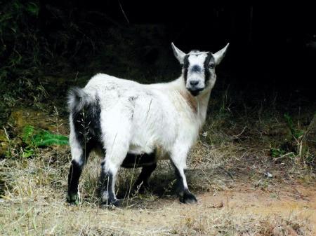 White Pygmy Goat