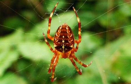 Close up of Spider on Web
