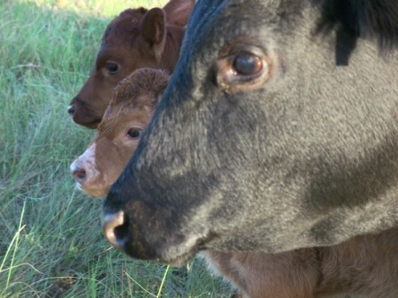 Three Cattle Closeup