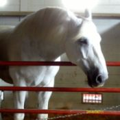 White Horse in Corral