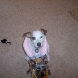 Jack Russell and Yorkie in their warm coats.