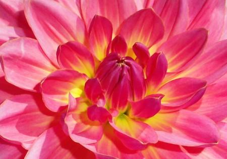 Closeup of Bright Pink Flower Petals