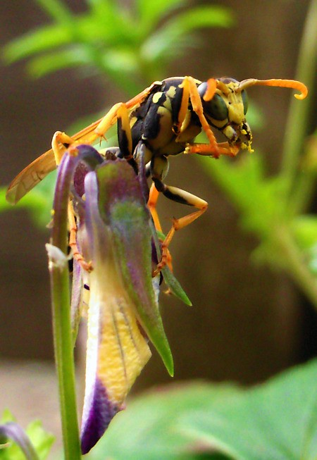 Large Wasp on a Flower