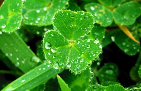 Closeup of Clover with Dew on It