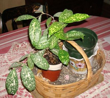 House plant with gold speckled leaves.