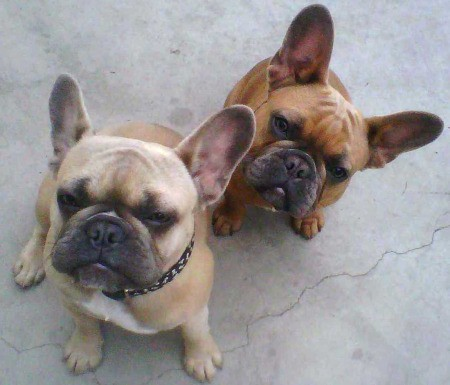 Des and Cinn Frenchies Looking Up at Camera