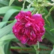 Closeup of dark pink rose.
