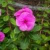 Dew on Pink Vinca