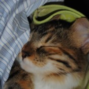 Calico kitten snuggled down in towels or other linens.
