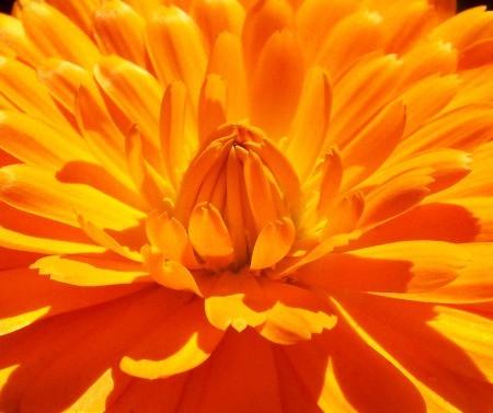 Closeup of Bright Orange Flower Petals