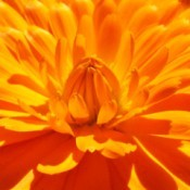 Closeup of Bright Orange Flower Petals