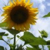 Large Yellow Sunflower With Blue Sky in Background
