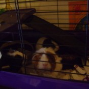 Three Guinea Pigs in a Cage