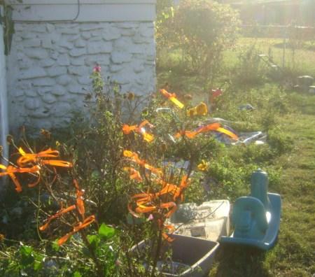 Side View of Orange Ribbon Bush