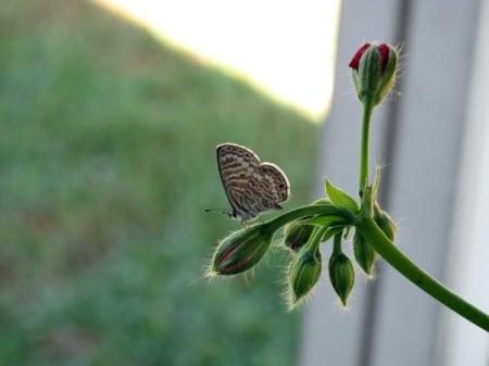 Blue Marine Butterfly on a Flower