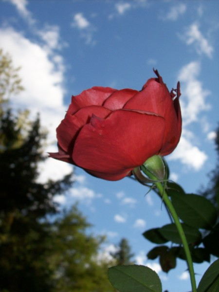 Red Rose With Sky in Background