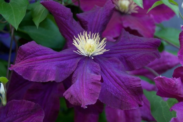 Pruning a clematis thriftyfun large purple clematis flower mightylinksfo