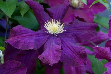 Large Purple Clematis Flower