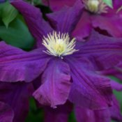 Large Purple Clematis Flower