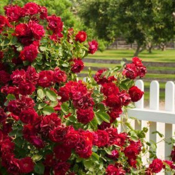 A Rose Bush Growing In Yard