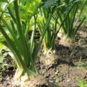 Celery growing in the ground.
