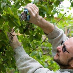 A man pruning a shrub.