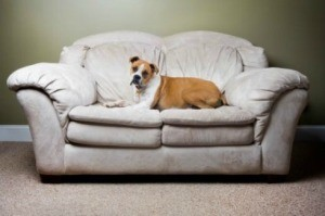 Boxer on White Microfiber Couch