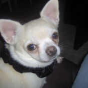 A white chihuahua looking back at the camera.