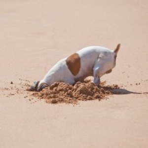 Dog digging at the beach.